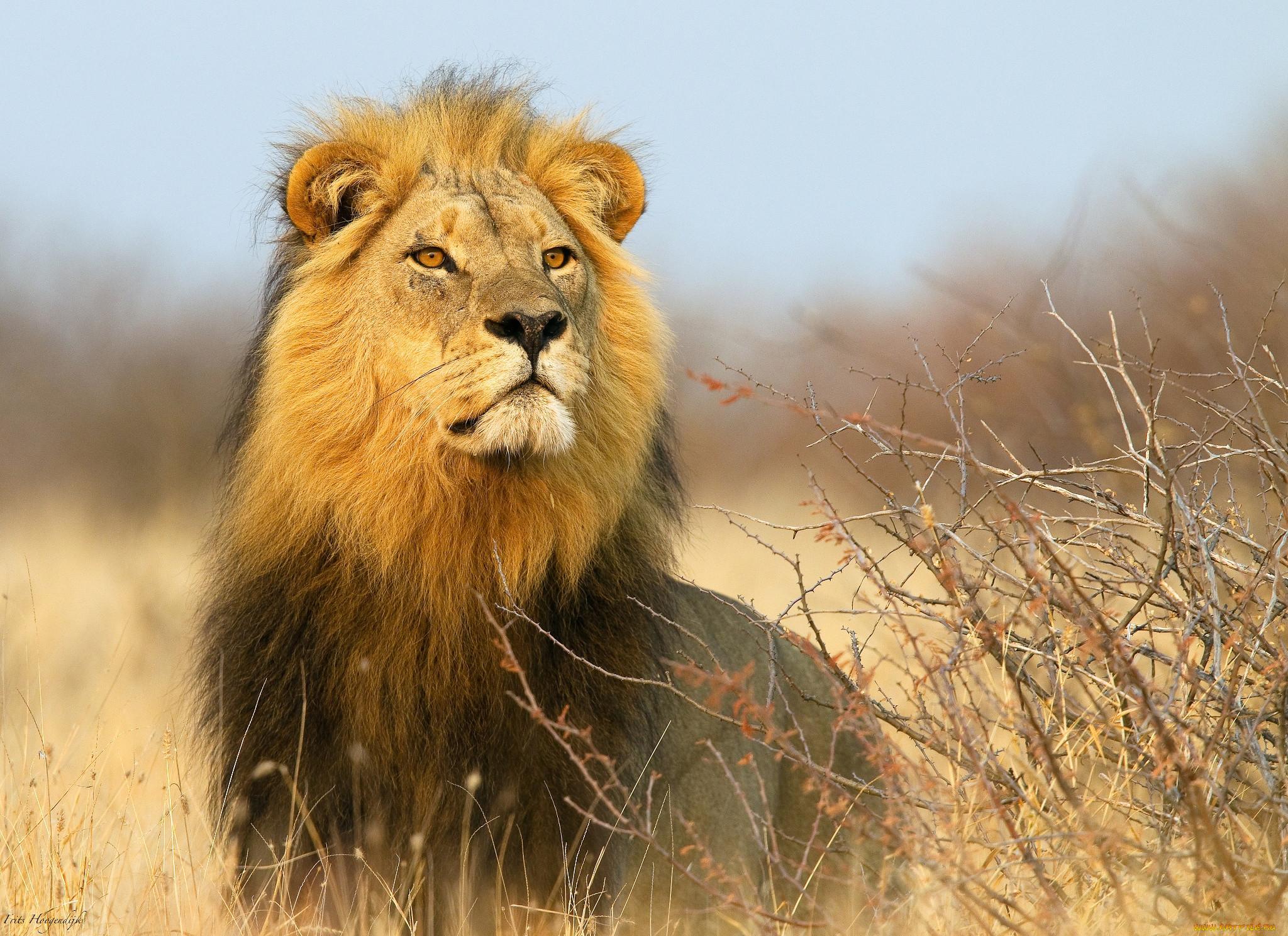 установка проявки африканские львы фото может человек знает
